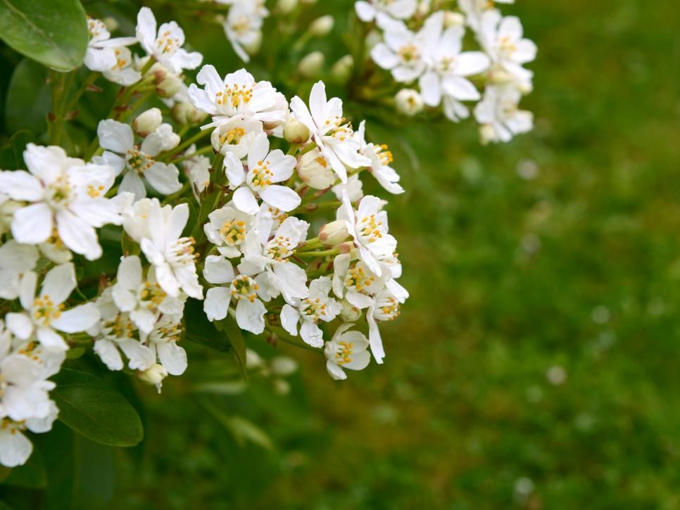 Choisya Choisya Aztec Pearl Commonly Called Mexican Orange Blossom Is An Evergreen Shrub With Slender Glossy Types Of White Flowers White Flowers Flowers
