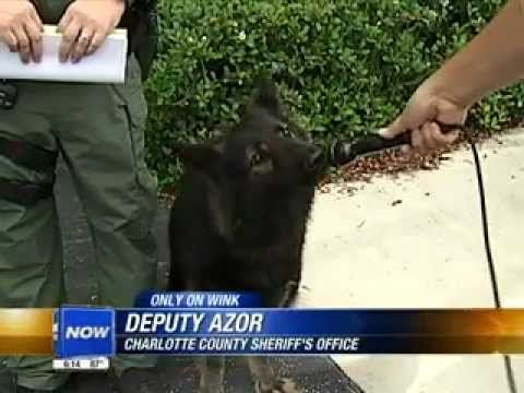 Paws For Thought Florida Police Dog Officer Azor K9 Called To