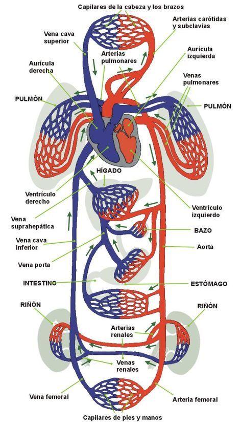 Sistema circulatorio. Funcionamiento. Enfermedades más comunes. Test ...