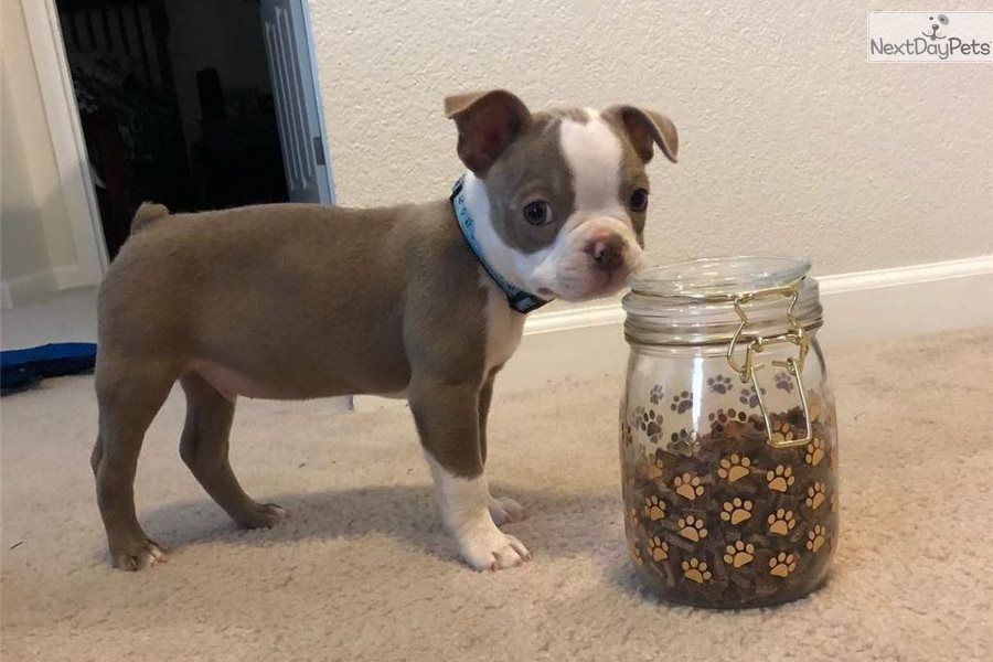 Boston Terrier Puppies For Sale In Va 2020 2021