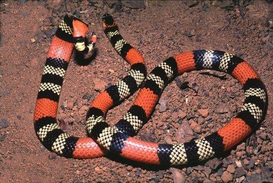 As 10 Cobras Mais Venenosas Do Brasil Cobra Serpente Serpente