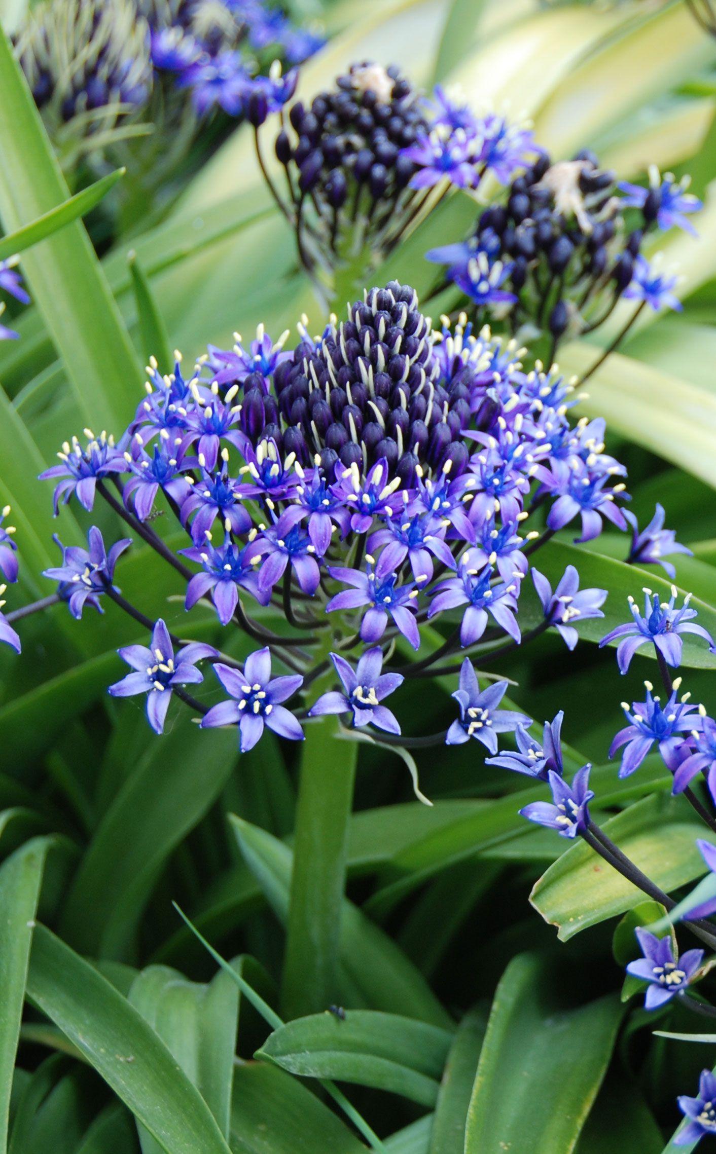 Fleur De Sous Bois Bleue scille peruviana (du pérou)   bulbes, jardins