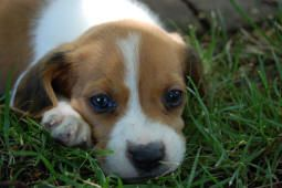 Puppy In The Grass Beagle Puppy Beagle Puppies