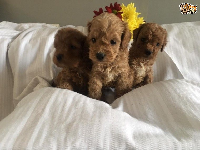 Deep Red Cockapoo Toy Puppies Manchester Greater Manchester