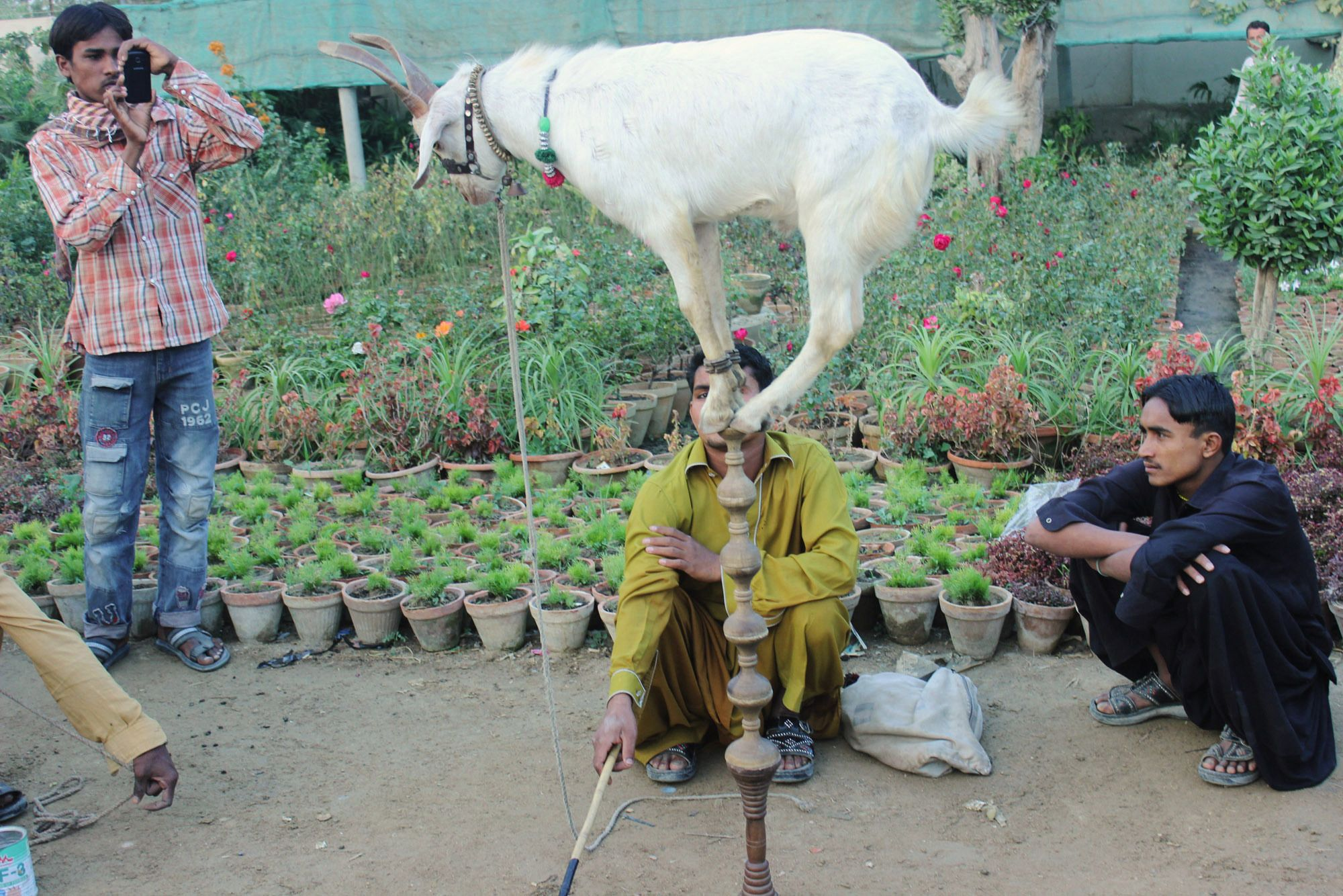 #goatvet likes this goat on the streets of Pakistan- natural behaviour that entertains