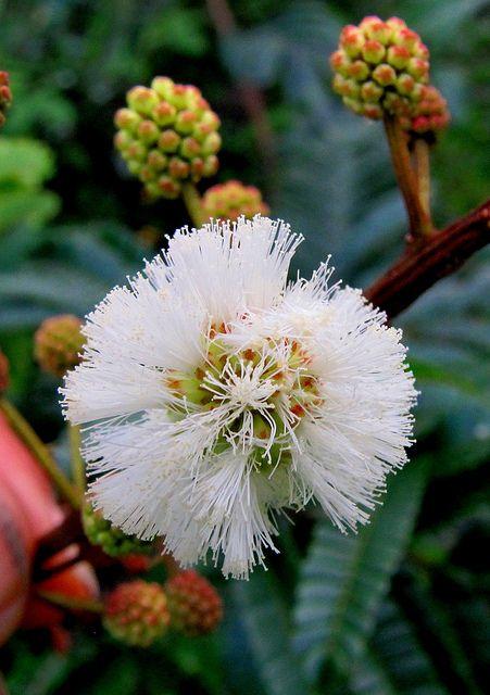 Ecosystem Flora White Ball Acacia Acacia Angustissima Mill Kuntze 1 Strange Flowers Amazing Flowers Language Of Flowers