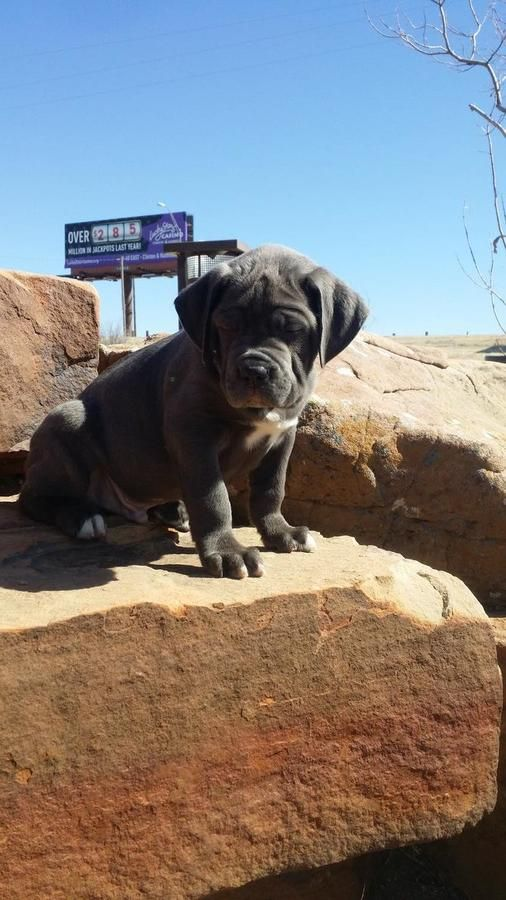 Iccf and Akc dual registered italiano Cane Corso Pups ($1500