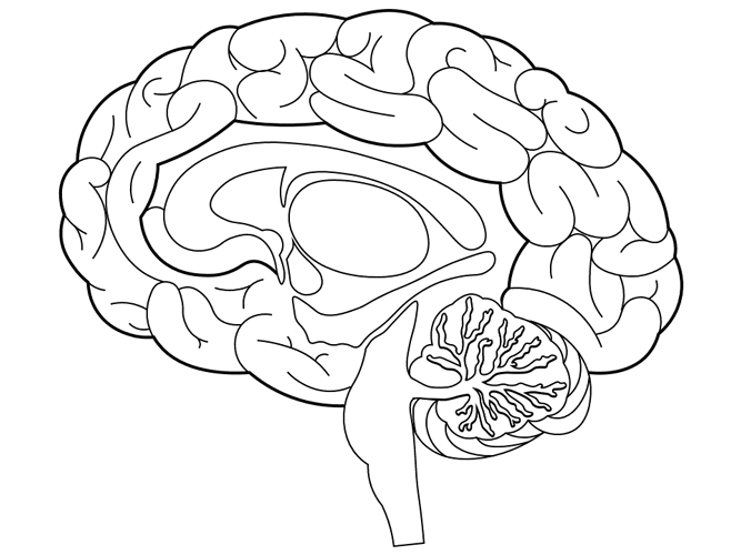 Brain Structures Coloring Page Coloring Pages Free Printable Coloring Sheets Human Body Lesson