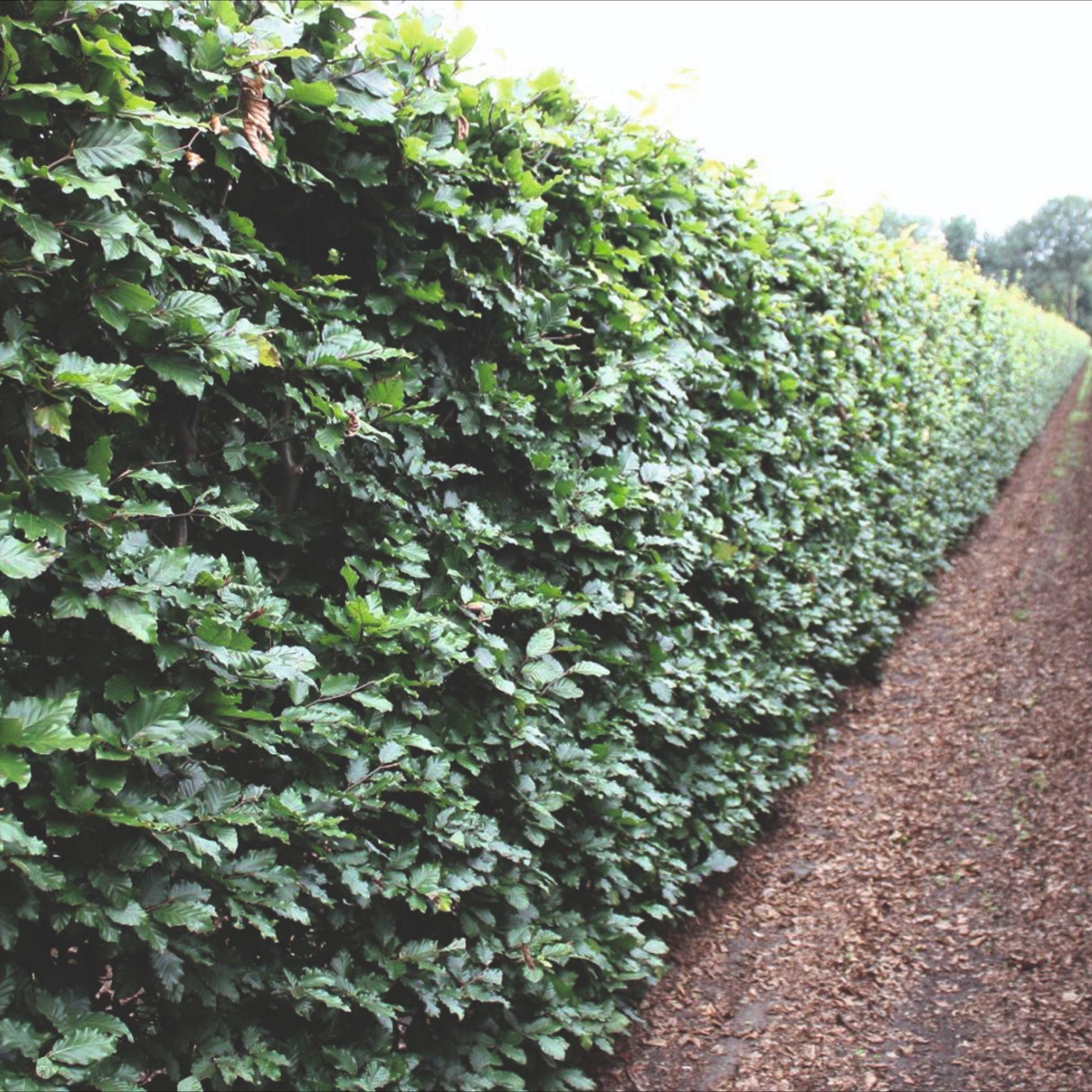 Schnell Wachsende Immergrune Hecke Schnellwachsendepflanzen In