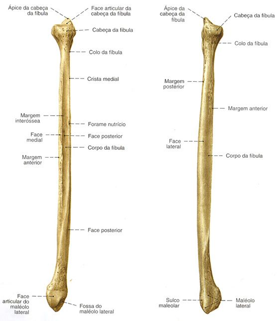 Ossos Humanos Fibula Pesquisa Google Anatomia Dos Ossos