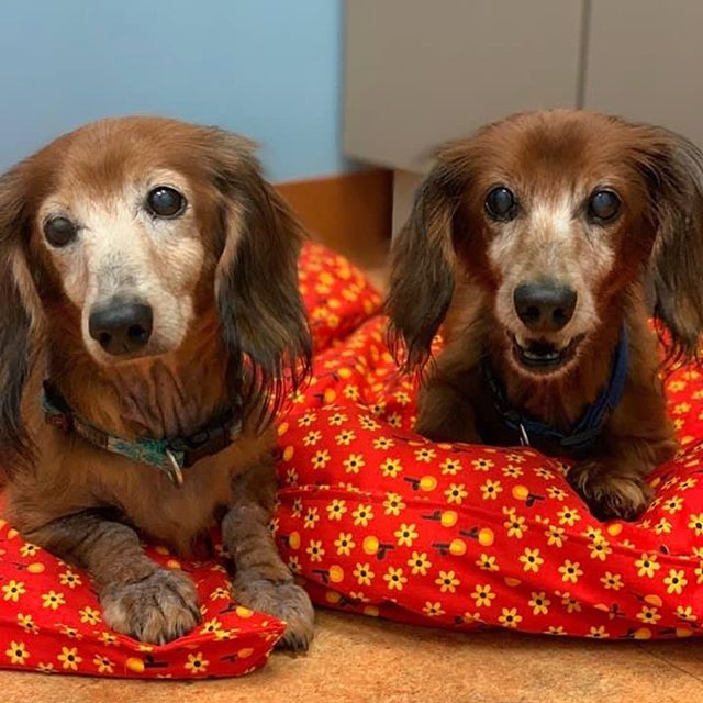 Dachshund Rescue South Florida (drsfdoxies) • Zdjęcia i