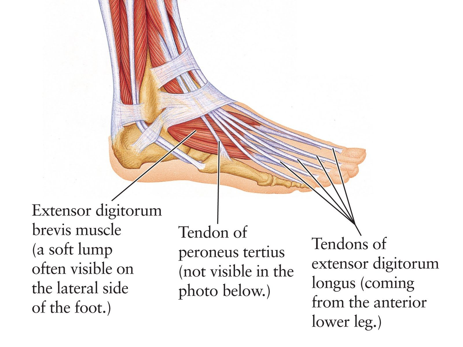 Human Anatomy For The Artist The Dorsal Foot How Do I Wiring Diagram