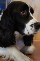 Adopt Josie On English Springer Spaniel Springer Spaniel Pet Id