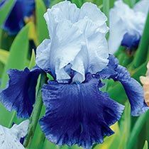 Bountiful Harvest is called October Sky Reblooming Tall Bearded Iris - from Brecks