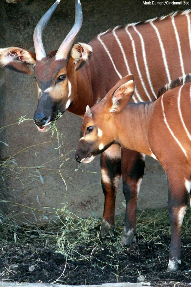 Stevie and her son Sukari, bongo forest antelopes, eat together at the Cincinnati Zoo.