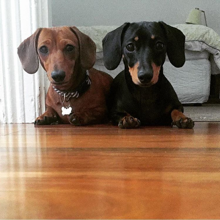 Your Not Going To Eat Those Last Two Bites Are You Dachshund