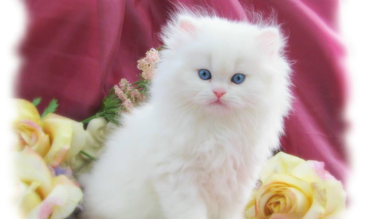 White Cute Princess Pics Of Cute Cats Cute Cat Wallpaper Kittens Cutest