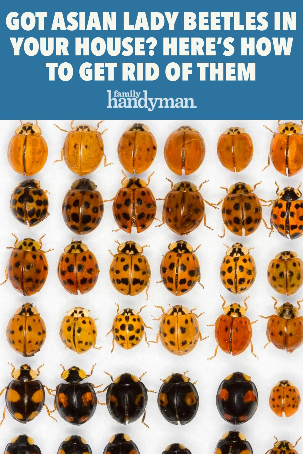 The Most Annoying Fall Pests And How To Manage Them Lady Beetle Asian Beetle Beetle