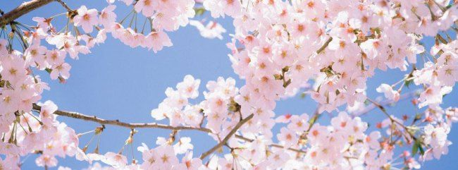 Cherry Blossom Tree For Facebook Cover Facebook Cover Photos Flowers Facebook Cover Facebook Cover Images Wallpapers