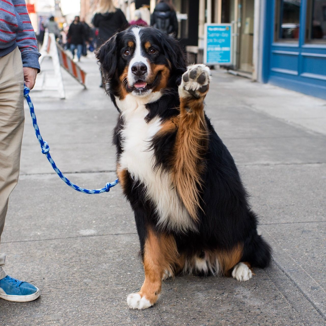 Pluto Bernese Mountain Dog 6 Y X2f O 18th Amp 7th Ave New York Ny He Loves To Carry Things Like Boxes Of C Bernese Mountain Dog Dogs Working Dogs