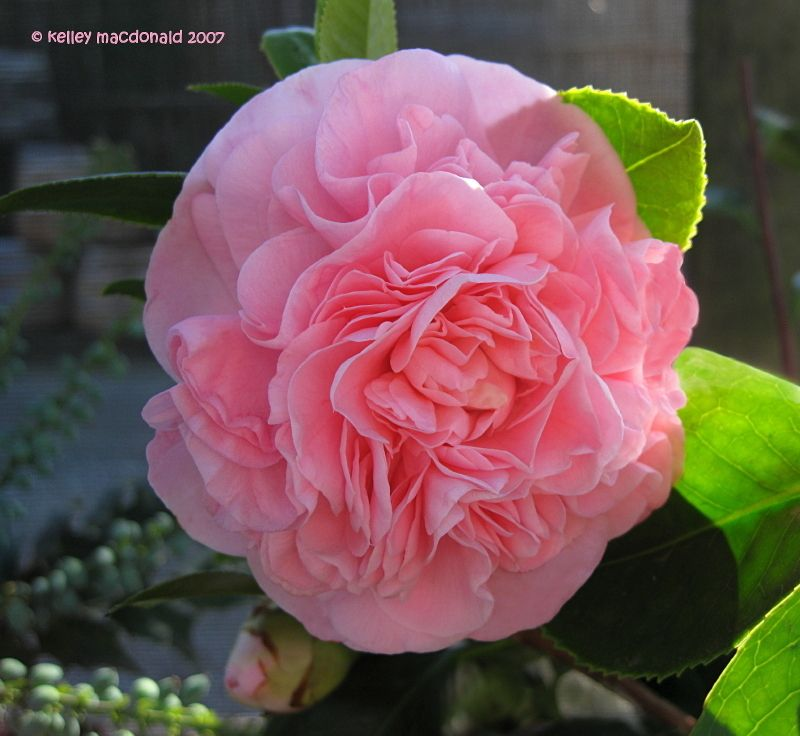 Full Size Picture Of Common Camellia Japanese Camellia Debutante Camellia Japonica Camellia Plant Flowering Trees Plants