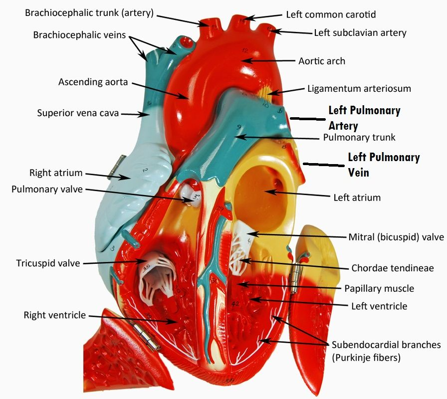 Open Heart Model | Anatomy and Physiology Models | Pinterest