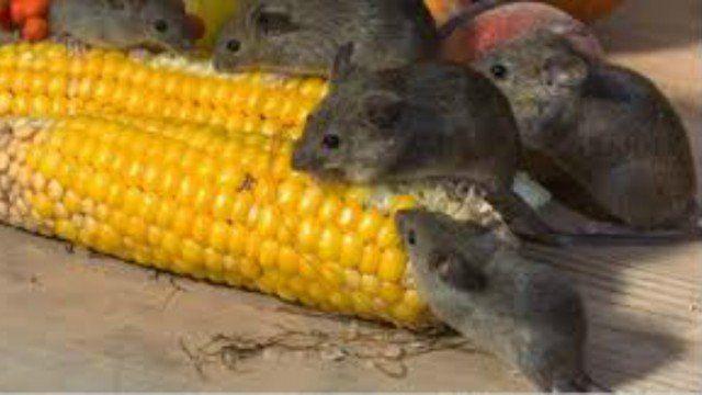 Como Acabar Con Las Ratas En El Campo Pin En Plagas