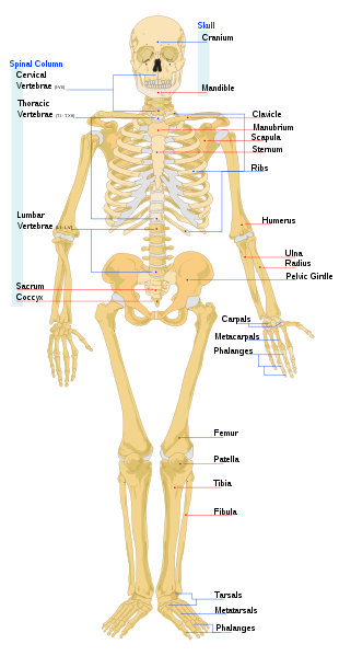 A Place To Memorize All The Bones In The Body Nice Bod Pinterest