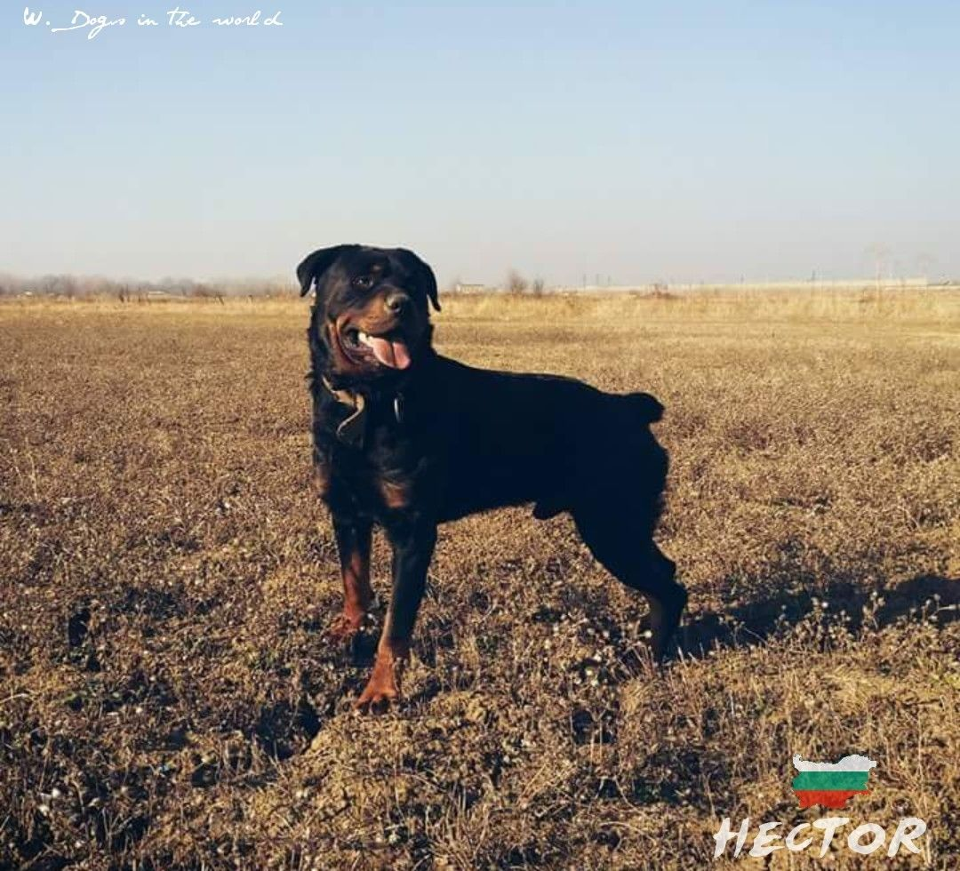 Hector From Bulgaria With Images Rottweiler Big Dogs Dogs
