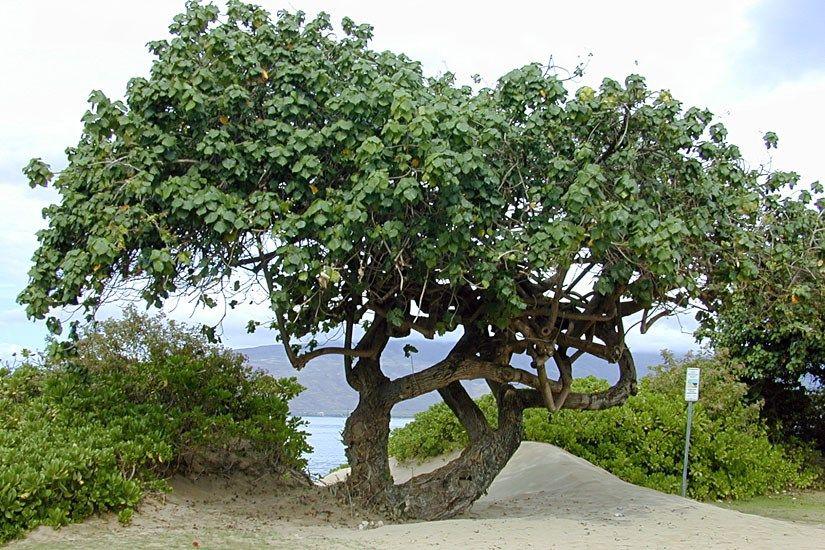 Hibiscus Tiliaceus Habit Sea Hibiscus Coastal Cottonwood