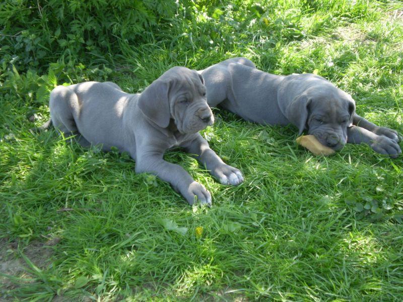 blaue deutsche dogge Foto 5 Deutsche Dogge zwei letzte