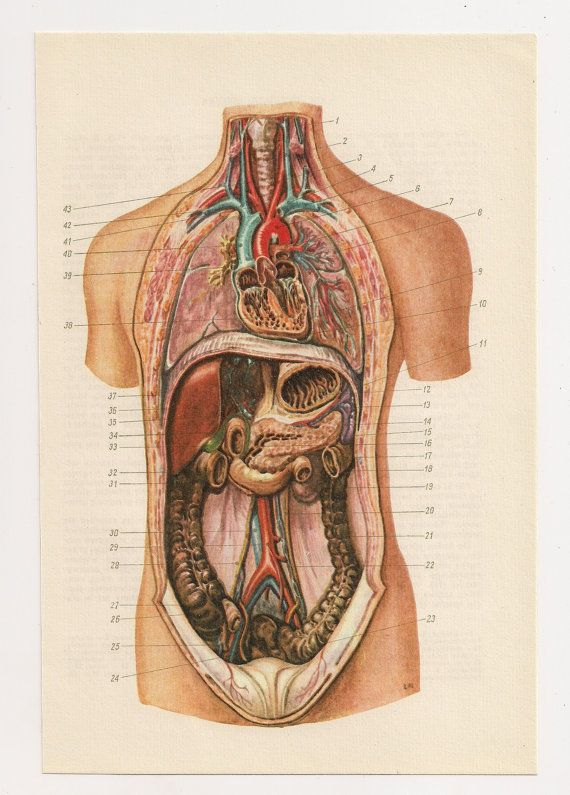 2 Vintage Anatomical Prints Guts Blood Medical Diagrams Skull