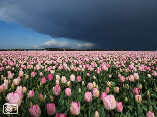 Dark clouds and tulips.