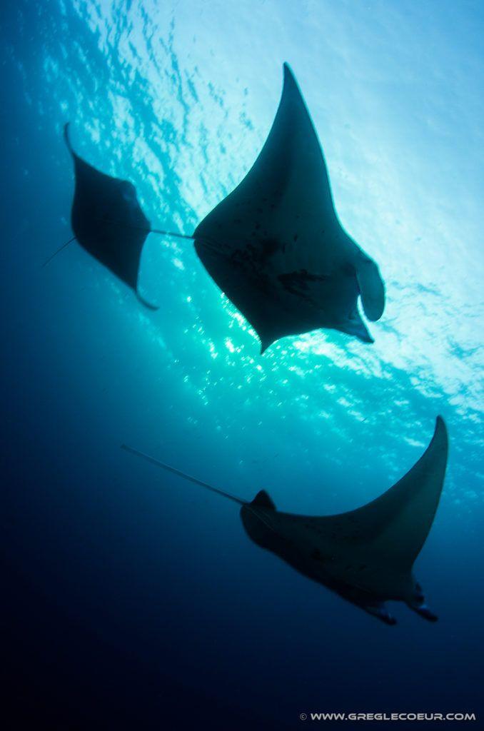 Kona Diving Company Manta Ray Night Dives Manta Ray Fighter