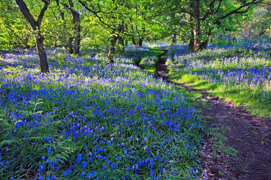 Wald Der Blauen Blumen | Wald, Kreis Heinsberg Und Privatgarten