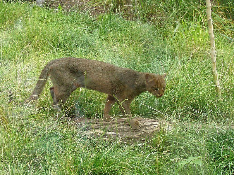 The Endangered Jaguarundi Is Coming Back To Texas