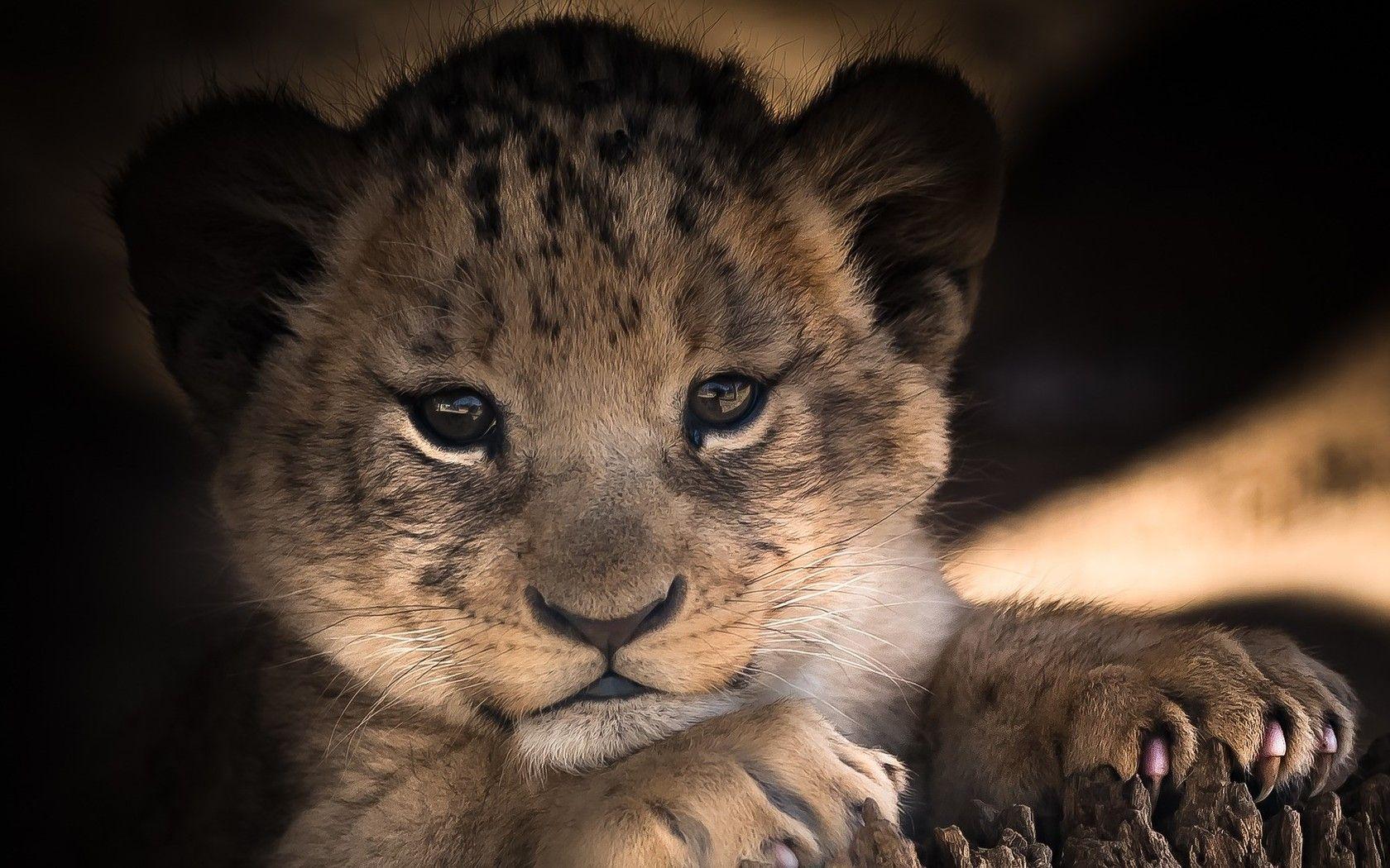 Wallpaper Et Fond D Ecran Bebe Tigre Animal Bebe Tigre Lionceau Photo Animaux