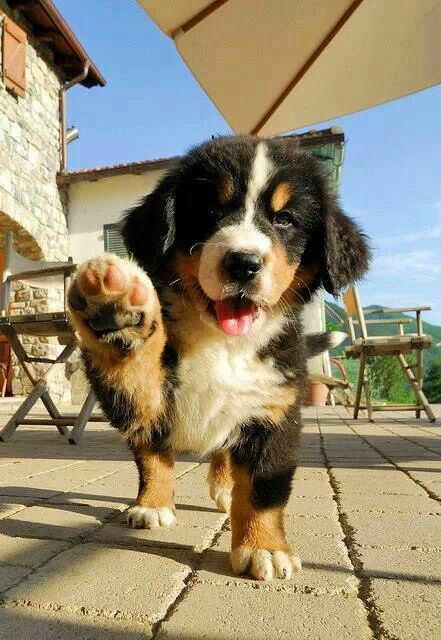 Photo of Community Post: 19 Bernese Mountain Pups who only want to do one day …