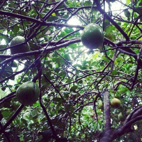 자몽 (Grapefruit, Bưởi)  #Mekong_River #Food #Vietnam ) #여기는베트남