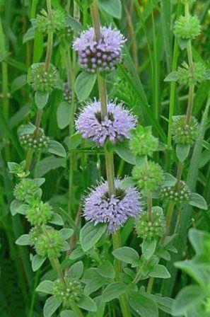 seeds 100 Semillas de Menta Poleo medicinal Mentha Pulegium