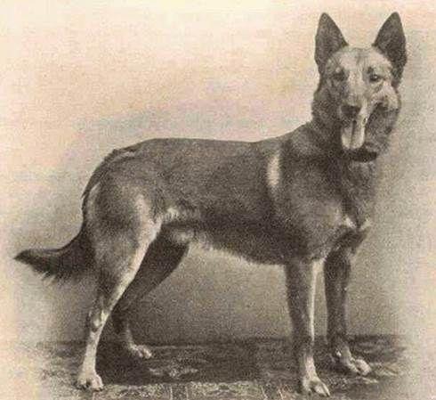 Pawvillage Com The Online Pedigree Database Tm Malinois Belgian Malinois Belgian Sheepdog