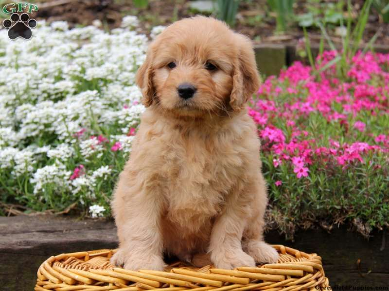 Mini Whoodle Puppies For Sale Ontario Ideas