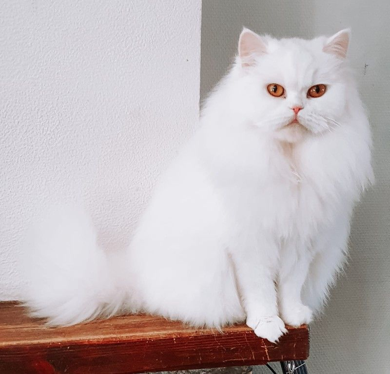 Nova British Longhair Cattery Yes It Is in 2020