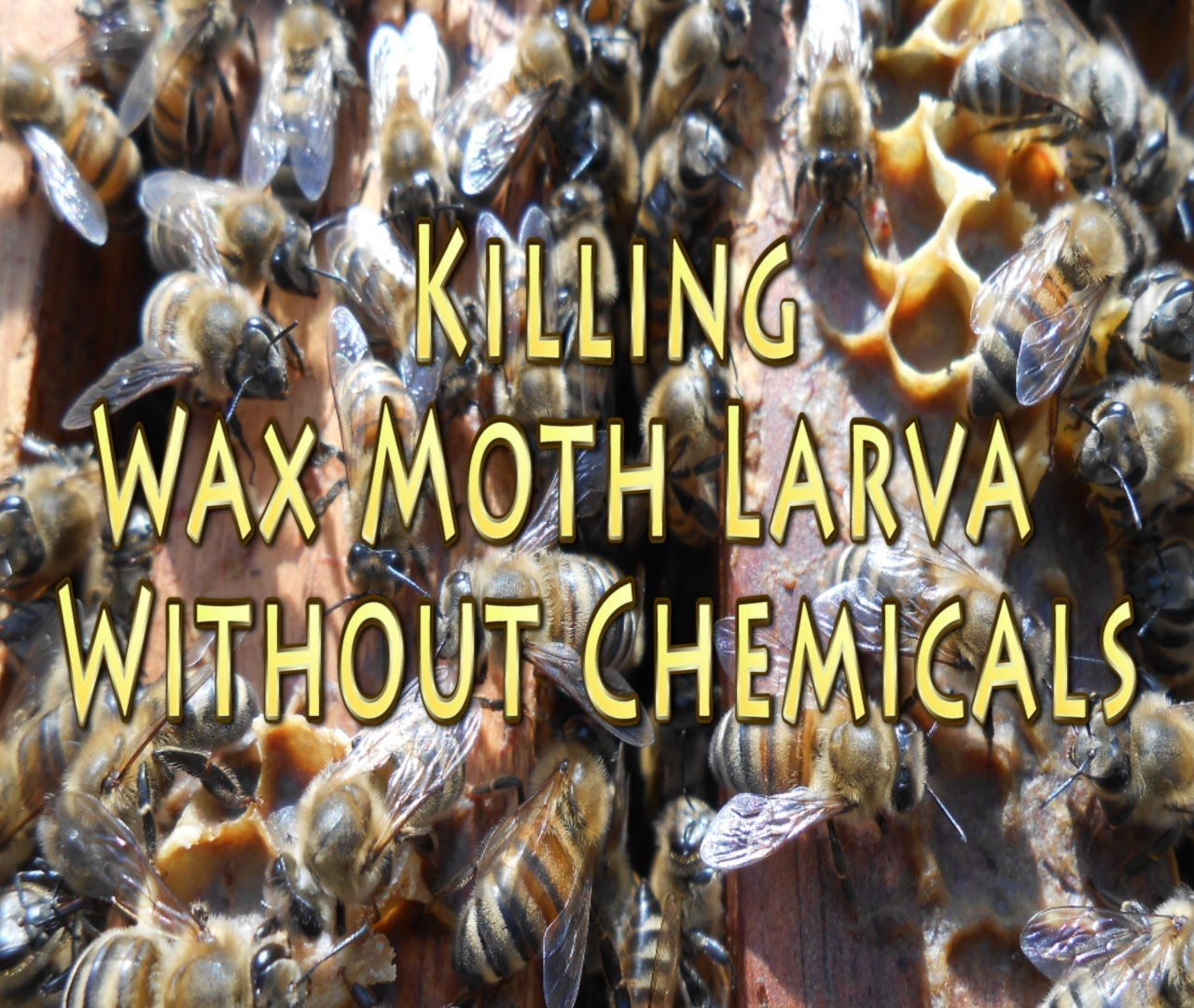 4d623df340ab962a0fef16d63983b7f7 - How To Get Rid Of Small Hive Beetle Larvae