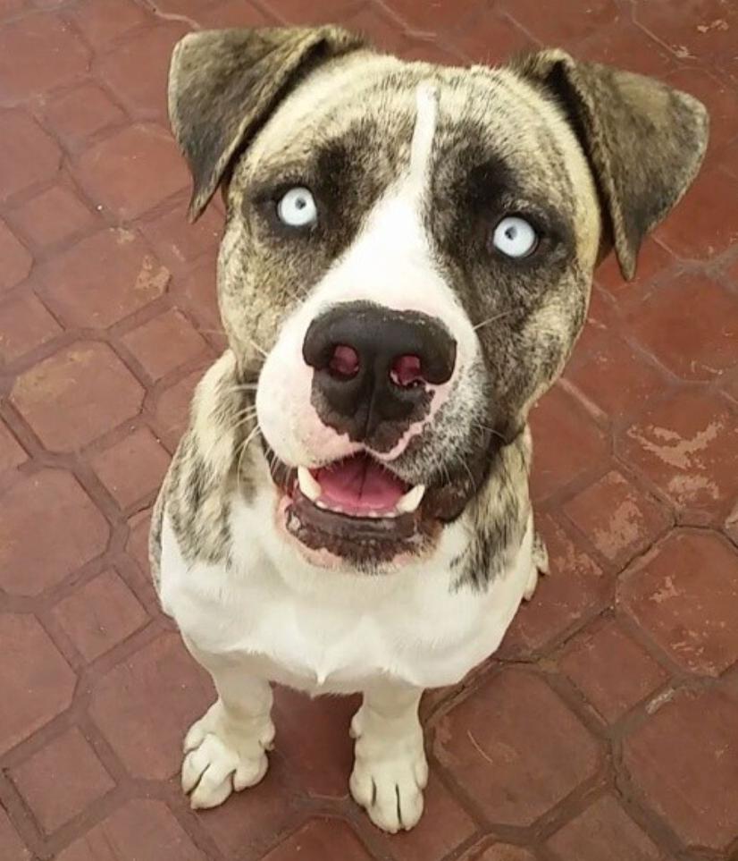 Hi I M Blu I M An American Pitbull Terrier Mixed American Pitbull Terrier Pitbull Terrier American Pitbull Terrier Mix