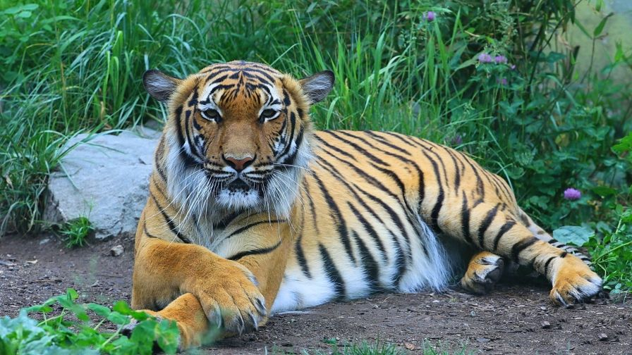 striped tiger wallpaper download high size definition