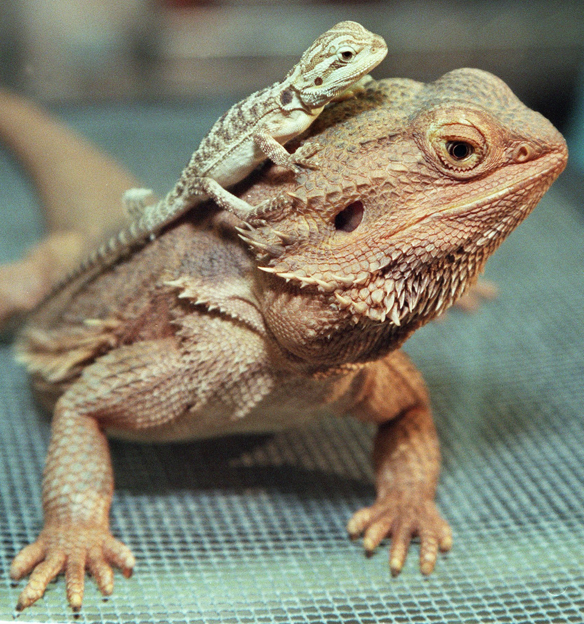 K Dragon Lizard Reptiles On Display At...
