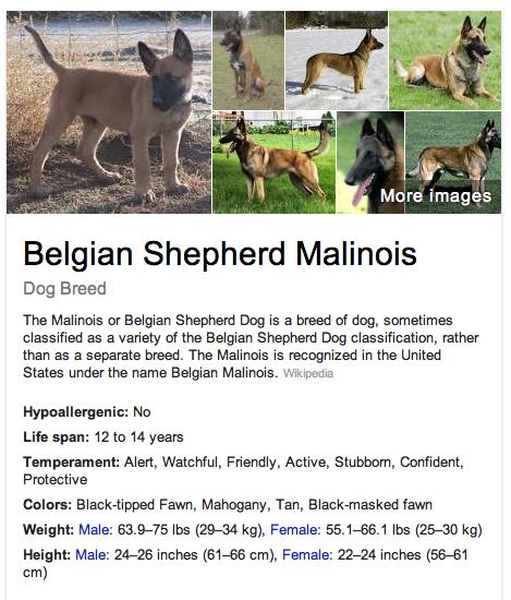 Belgian Shepherd Malinois Dog Breed Malinois Dog Malinois