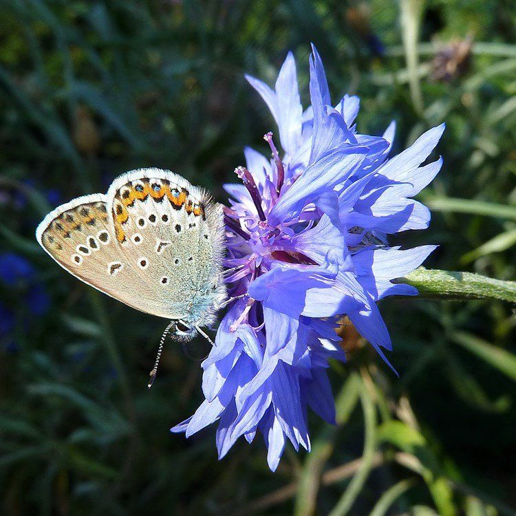 Jardins des papillons bleuet aux fleurs bleues attirant for Jardin aux fleurs