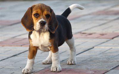 Scarica Sfondi Cani Da Caccia Cucciolo Beagle Beagle Cani Da